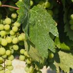 viñas mont marçal