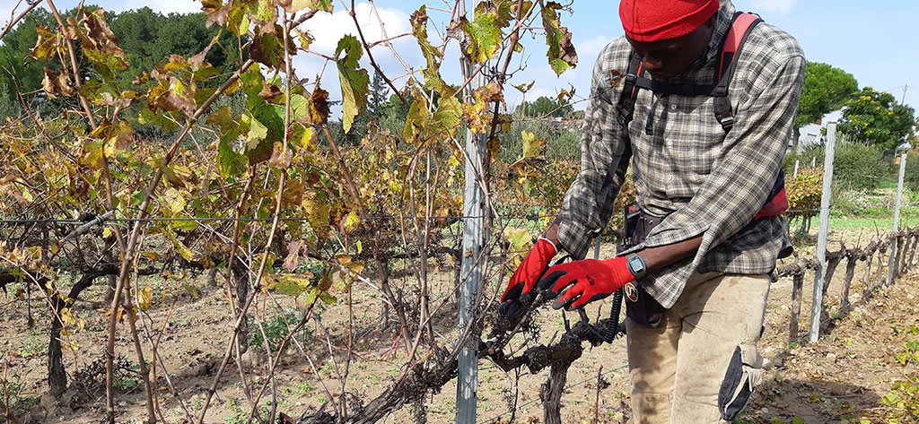 Pruning, the process that will define the quality of our wine